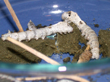 Silk Month Larva